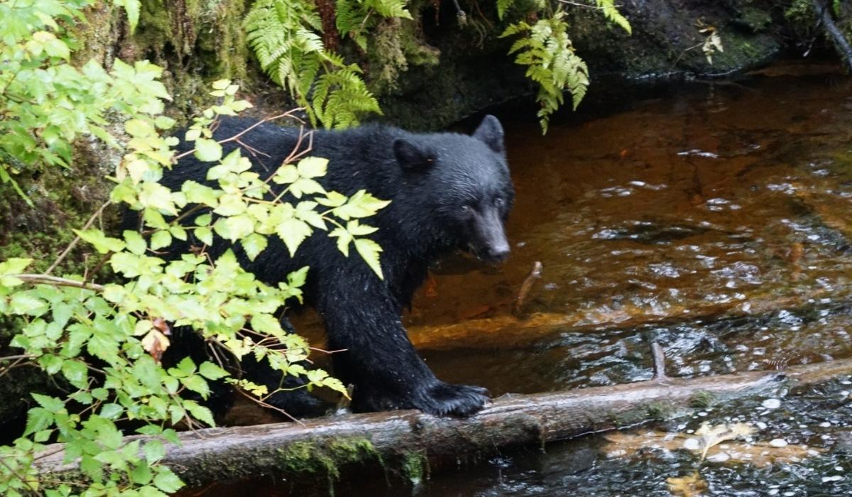 Bear Viewing in Ketchikan, Alaska on a Cruise